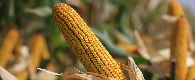 Szép kukorica